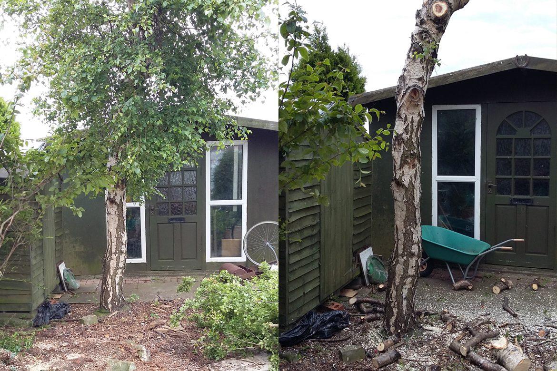 Seaview - Birch Tree